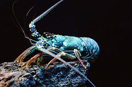 aquarium hobby: Giant blue sea lobster over dark background
