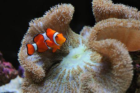 aquarium hobby: beautiful clownfish nemo over coral reef anemone under water