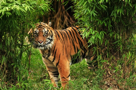 scary looking male royal bengal tiger staring towards the camera from inside the jungle Stock Photo - 9837894