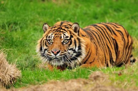 sumatran tiger: male sumatran tiger hiding in ambush while stalking its prey moments before the attack.