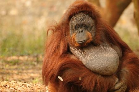 hominid: Ritratto di un orango adulto con uno sguardo triste sul suo volto Archivio Fotografico