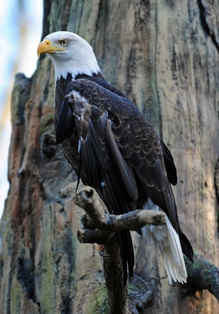 Full Portrait of a magestic bald eagle perched on a branch looking out for prey photo