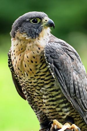 Bellissimo ritratto di un falco pellegrino. Archivio Fotografico - 10101439