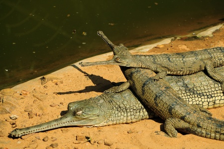 climbed: A pair of gharial babies climbed up over its mother