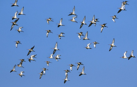 tailed: Flock of black tailed Godwits in flight during migration season