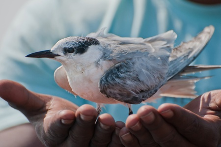 An injured whiskered tern rests on the hands of a sailor after being rescued from the lake water.