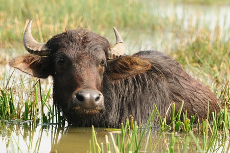 Indian buffalo grazing in marshy swamp area Zdjęcie Seryjne