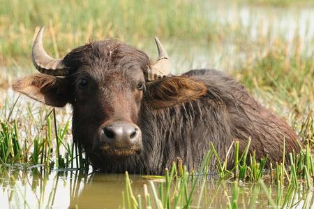 Indian buffalo grazing in marshy swamp area Standard-Bild