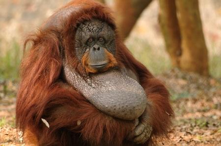 hominid: Orangutan femmina adulto seduto tranquillamente con le mani in mano