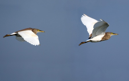 A pair of Indian Pond Herons flying together photo