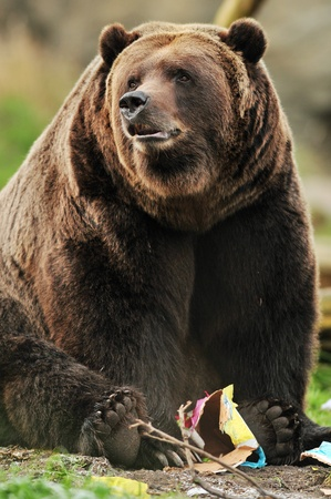 Beautiful portrait of a massive Alaskan Grizzly bear playing with a paper toy