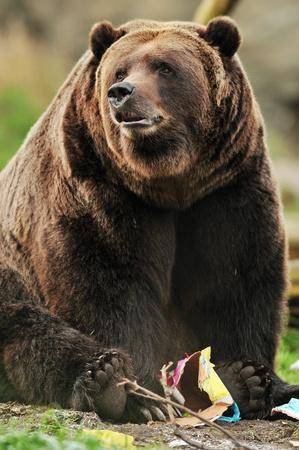 grizzly: Beau portrait d'un énorme ours grizzly en Alaska jouer avec un jouet en papier