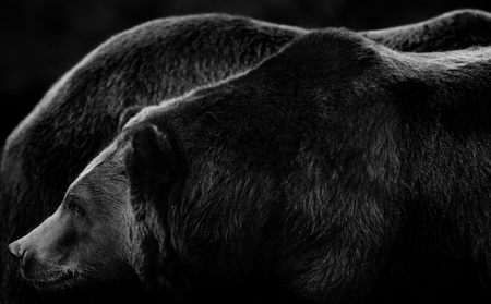 Giant sized Alaskan brown bears in subtle black and white tones