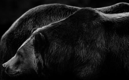 grizzly: Ogromny wielkości Alaskan niedźwiedzie brunatne w subtelnych odcieniach czerni i bieli Zdjęcie Seryjne