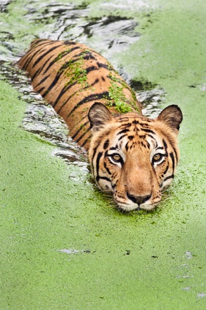 Large bengal tiger taking a swim in marshy water Stock Photo - 10101543