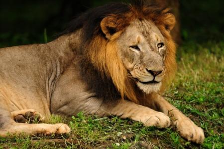 Ritratto di un leone asiatico, un animale in pericolo di estinzione si trova solo in Gir National Forest in India Archivio Fotografico - 10101546