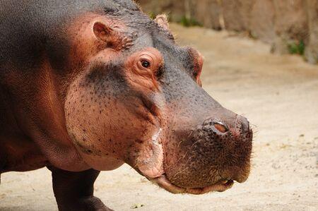 hippopotamus: Close-up tiro en la cabeza de un hipopótamo (Hippopotamus amphibius) Foto de archivo