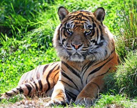 Portrait of an adult male Asian tiger with frightening eyes photo