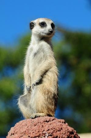 A meerkat portrait against blue sky background Standard-Bild