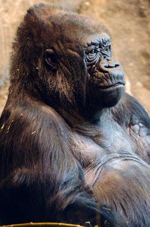 Closeup portrait of a beautiful female American lowland gorilla Stock Photo - 10505517