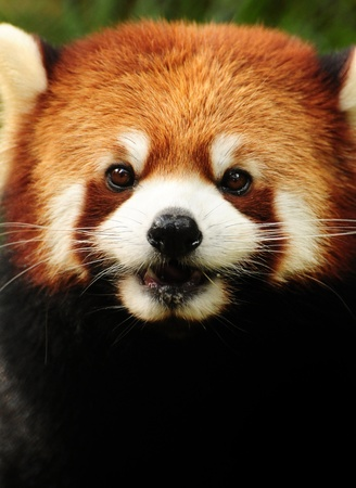 species: Cute little Red Panda (fulgens ailurus) headshot portrait Stock Photo
