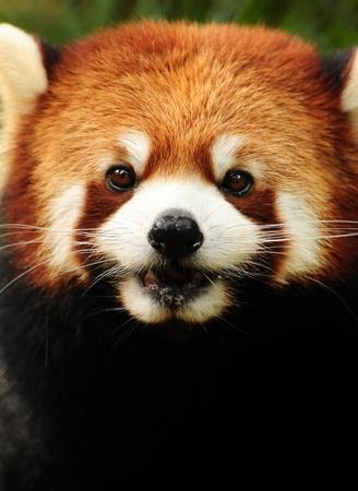 Cute little Red Panda (fulgens ailurus) headshot portrait