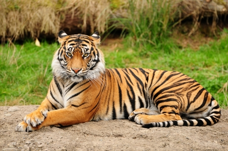 Portrait of a Royal Bengal tiger alert and staring at the camera Stock Photo - 10505533