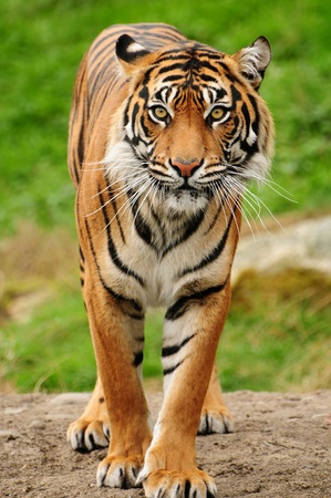 Vertical portrait of a Royal bengal tiger