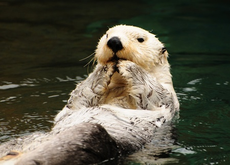 sea otter: Arctic tundra white otter eating fish with contempt in water