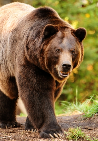 Giant alaskan brown (grizzly) bear walking towards the camera with aggressive stare photo