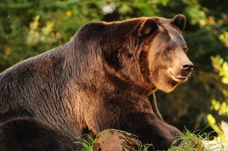 Giant Alaskan Brown (Grizzly) bear relaxing over a log of wood Banque d'images