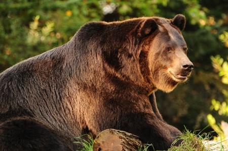 alaskan bear: Giant Alaskan Brown (Grizzly) bear relaxing over a log of wood Stock Photo
