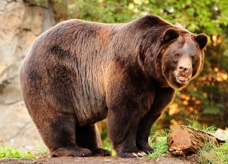 Een enornous Alaskan bruine beer (grizzly) met moordenaar staren naar de camera ziet er