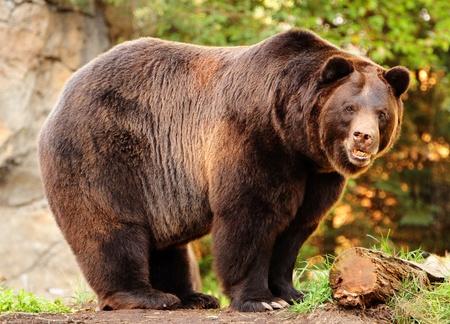 Se ve un enornous Alaska brown bear (grizzly) mirando fijamente a la cámara con killer