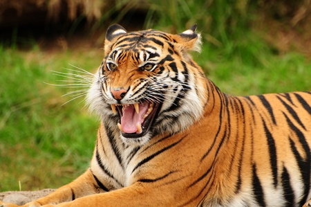 roar: Gorgeous Sumatran tiger threatening its opponent by roaring Stock Photo