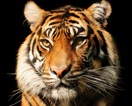Portait of a majestic Sumatran tiger over black