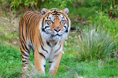 Bedreigde Sumatraanse tijger komt uit de jungle in een reservaat voor wilde dieren in Amerika