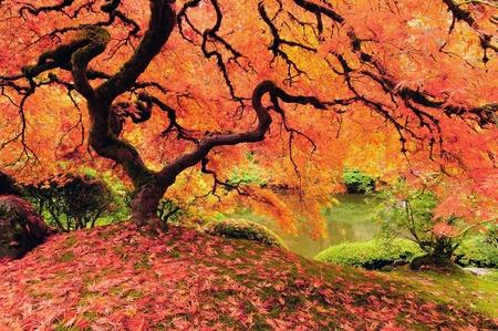 魅力的な日本のカエデの木から秋色に