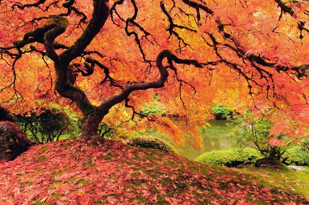 red maples: Attractive Japanese maple tree in full autumn glory