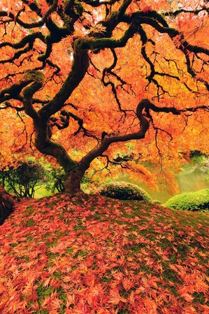 Beautiful japanese maple tree glowing with color in autumn - vertical image Stock Photo