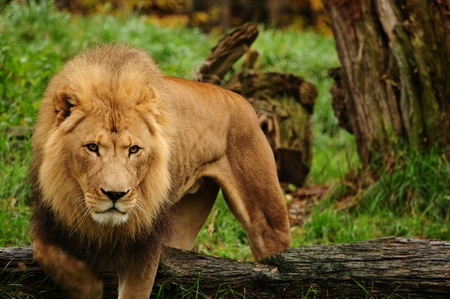 panthera leo: African male lion coming towards the camera