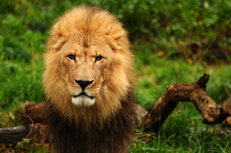Portrait of a majestic african lion staring at the camera photo