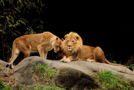 standing lion: Love among animals - Loving pair of lion and lioness who are just made for each other Stock Photo