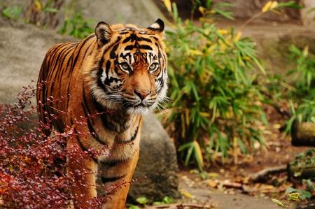 Портрет красивая тигрица Бенгалии выходит из кустов