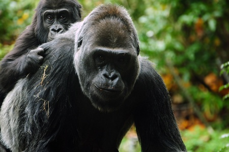 Gorilla baby climbed on mother