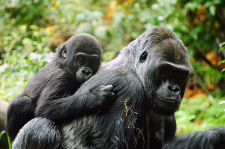 Gorilla child holds on to his mother for a piggyback ride