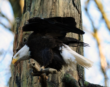 American Bald eagle ready to take off after sighting a prey