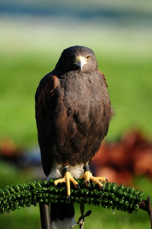 looking towards camera: head to head with a majestic Harris Hawk looking towards the camera
