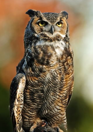 Beautiful portrait of the Great Northern Horned Owl over vibrant autumn background Foto de archivo