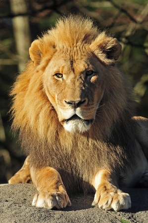 Portrait of the majestic king of the jungle photo